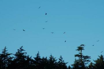 There are usually two or three turkey vultures floating about above the Cape Arago North Cove. On this morning there were many more, wheeling about above the southern end of the cove.