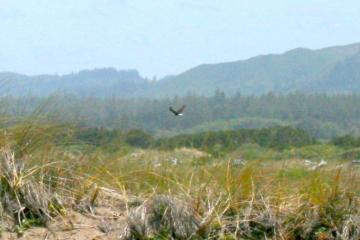 This is fuzzy photo of mature bald eagle near breach. Notice the white head and rump.