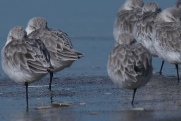 View of Sanderlings in dense group, showing how they're all on one leg, and eyes closed.