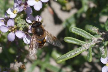 Some sort of bee taking advantage of Summer's last blossoms on European Searocket, <em>Cakile maritima</em>.