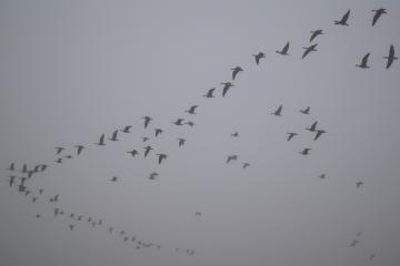 A flock of about 90 honking Canada geese headed south for the winter. There were two flocks of these, skating just above the fog in late afternoon; this one was actually on Mile 141, over the Umpqua Dunes Trail.
