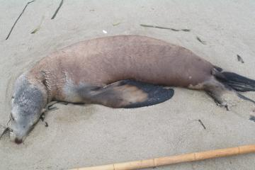 Jim Rice says this is a CSL, clearly a young one, about 4' long. Note obvious ear flaps, which help identify it as a sea lion (or fur seal).