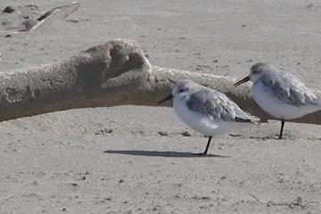 The two juvenile Sanderlings have the darker patterned back, while the adults are in their non-breeding plumage this time of the year.