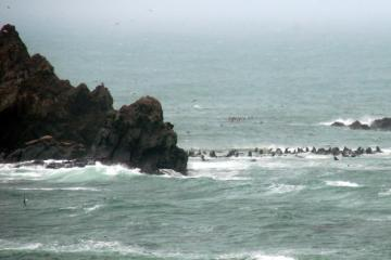 The Sea Lions' usual beach is flooded. Perhaps this is why they are mostly in the Cape Arago North Cove