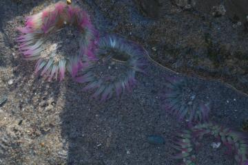 Pink tipped anemones, Anthopleura elegantissima, almost buried in sand.