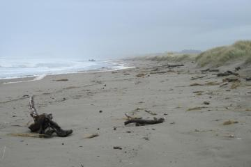 High surf has eroded lots of European Beachgrass out of the foredunes onto the beach.