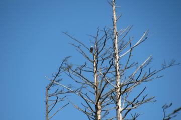 This eagle, seen on mile 287, is probably second or third year.  I remember when it and a sibling were young and learning from their parents in the same snags a couple of years ago.