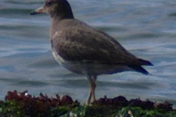 Formal portrait of a Surf Bird. Note basic gray back and wings, white belly, yellow legs, and favorite turf (small rocks just offshore.)