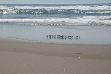 A flock of Western Sandpipers on Mile 129