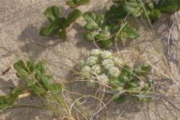 White-green umbellifer (member of the carrot family, according to field guide) blooming in the dunes alongside the trail.