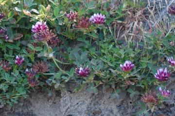 Cow's Clover <em>Trifolium wormskioldii</em>, near a seep at the base of the cliff