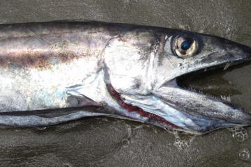 This photo shows the characteristic large teeth about the middle of the jaw of this fish species.