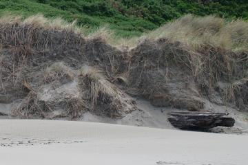 Perhaps 20 feet of foredune has washed away, showing how deep the European Beachgrass roots can go. Note old log exposed for the first time in years.