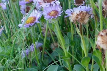 A patch of Seaside Daisy <em>Erigeron glaucus</em> at the base of the cliff