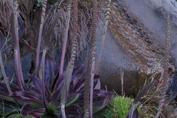 A native plantain <em>Plantago subnuda</em> with an 18-inch tall flower stem and large, deep purple leaves. These were on the rocks near a seep at the base of the cliff.