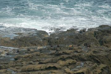 The Black Oystercatchers seem to gather here in groups after the breeding season is over.
