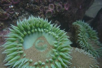 Just for fun, here's a view of the typical Common Green Anemone, <em>Anthopleura xanthogrammica</em>, and Aggregating Anemone, <em>Anthopleura elegantissima</em>, taken under water.