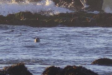 Harbor Seal watching shoreline activities from the water