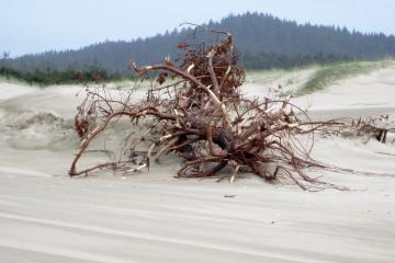 One of several root nests at foredune with huge sand build up