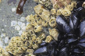 A shiny new generation of mussels about an inch long were beginning to cover bare spots. There were a few patches of slightly older Gooseneck barnacles, and a new crop of millimeter-size periwinkles browsing the outside of the barnacles.
