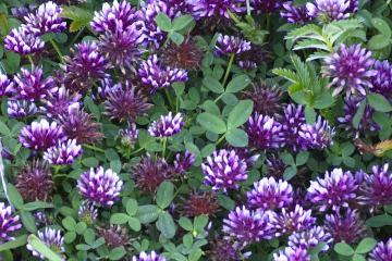 Trifolium wormskioldii in its prime