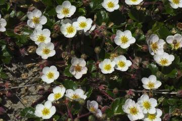 A patch of <em>Fragaria chiloensis</em>