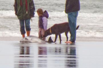 This harbor porpoise stranded near the south end of Mile 216 on 25 April 2011, where it was illegally crowded by people and dogs before experts could arrive.  It had to be euthanized.