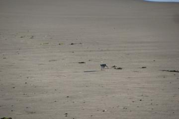 One Western Sandpiper hanging out with a small flock of Semi-palmated Plovers.