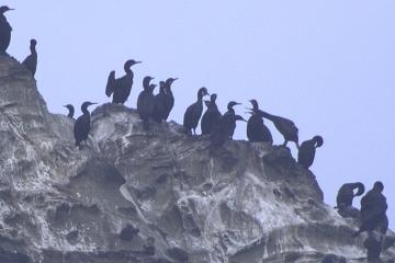 Several dozen Brandt's Cormorants had lined up along the ridge of an offshore rock. In this bunch, one seems to be voicing complaints about something.