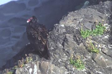 Two Turkey Vultures were hanging out on a rock overlooking a scum-covered tidepool at the foot of the cliff. They were smaller and with less-developed coloration than your typical adult TV.