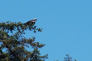 This Osprey didn't really do any fishing but just sat there with an occasional circuit out over the water.