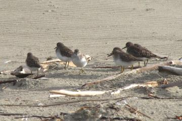 The yellow legs are a good species marker for these small sandpipers.