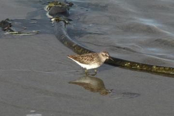 A Least Sandpiper foraging in a large runnel that has had Bull Kelp washed into it.