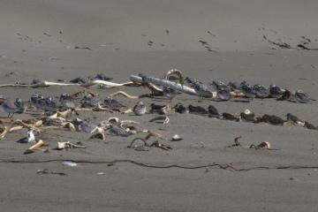 These birds love to rest next to dried Bull Kelp or other algae, making it a bit hard to see them.