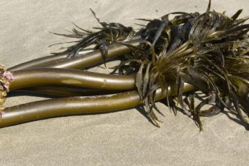 "Typical ""grove"" of Sea Palm <em>Postelsia palmaeformis</em> with holdfast."