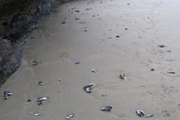 There were a lot of mussel shells at the south end of the first beach going south.