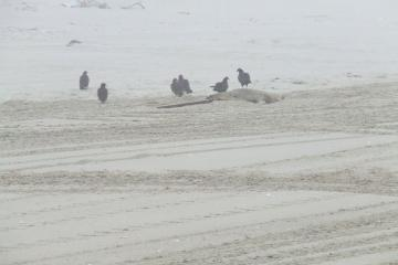 Vultures were feeding on the badly deteriorated carcass of a seal or small sea lion north of Mile 164.