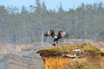 Bald Eagle with catch on the cliffs just south of Simpson's cove.