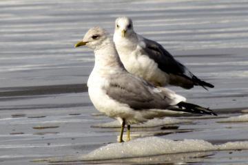 Mew gulls (Larus canus) on Nye Beach