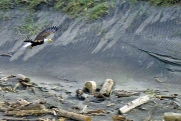Eagle moving up the beach at Fort Stevens state park