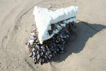 Chunk of styrofoam about 11 inches long and 4 inches thick with barnacles from Japan Tsunami?