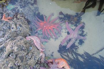 Minus tide pool creature. Strawberry Hill August 31.