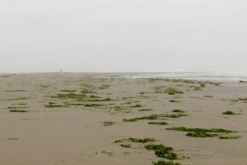 Nye Beach was strewn with washed up eelgrass in a broad two-track band probably corresponding to the last two high tides.
