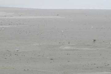 The Snowy Plover is on the right and the Sanderling is on the left.