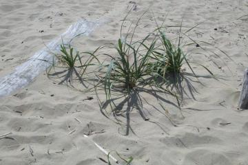 A nice amount of American Beach Grass was found.