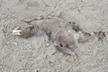 """torso probably about 20"""" long; large head skeleton; fur belly exposed; black and white fur on tail"""