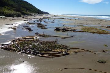 "Beach ""cluttered"" with kelp piles/green plants in eroded beach areas."