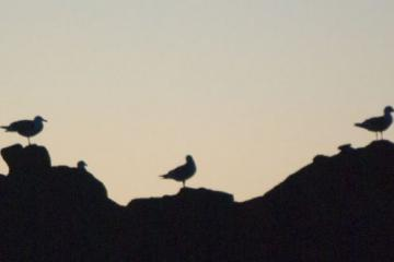Three gulls on offshore rock silhouetted by sunset
