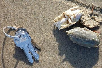 Mole crabs in the drift line - keys to give sense of size.