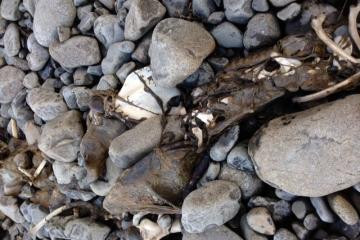 Seal or Sea Lion Carcass